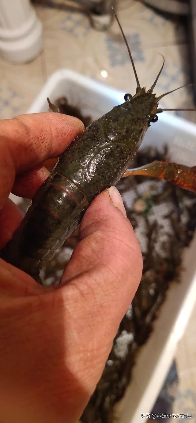 这样的小龙虾很好欢迎光临